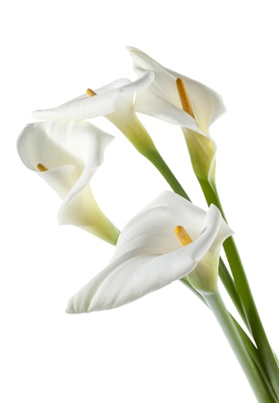 Four white calla lilies on white background