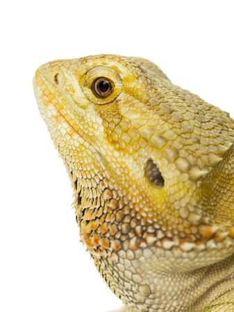 Head shot of a dragon lizard in a macro shot over white background.