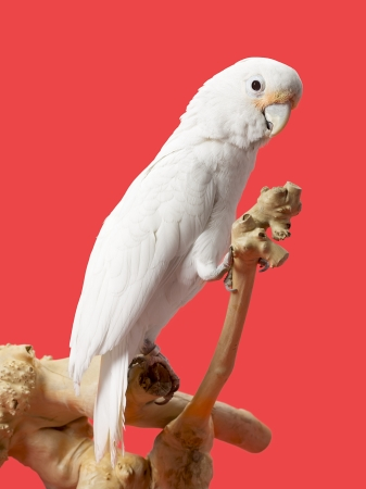 Close-up image of a young white parrot on wooden log against red background. Stock Photo - 17134697