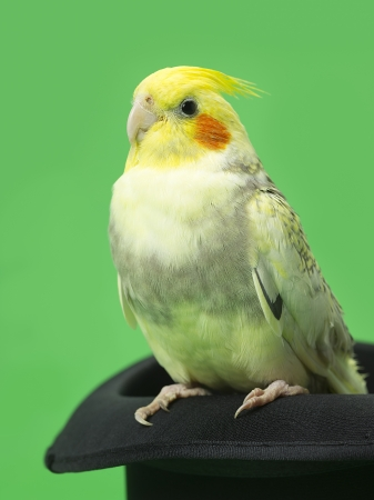 Close-up shot of a yellow parrot sitting on black hat against green background. photo
