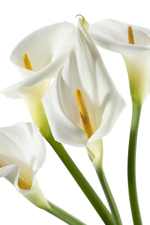 arum: Close-up portrait of four white lilies with a green stem and yellow stamen Stock Photo