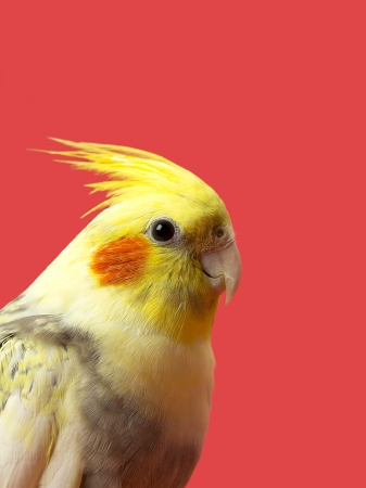 Close-up side view of a yellow parrot isolated against red background. Stock Photo - 17134714