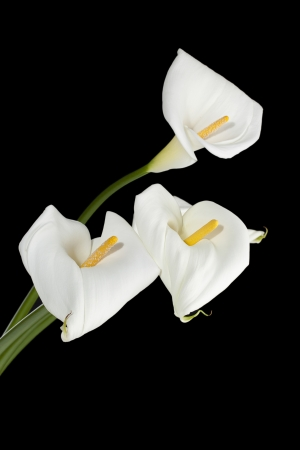 fleur arum: Image verticale de trois lis calla blancs sur un fond sombre Banque d'images