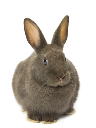 image of velvet brown rabbit sitting on white background. Stok Fotoğraf