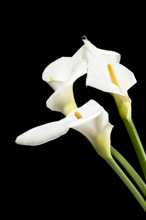Close-up shot of white lily flower against black background. photo