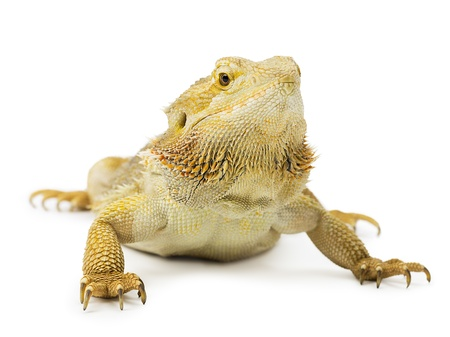 A close-up of a wild yellow bearded dragon isolated on white Banco de Imagens