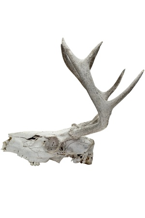 Close-up side view of a broken animal skull with long thorns on white background. Stock Photo - 17141353