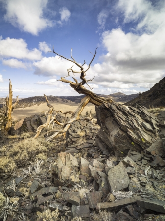 bristlecone: Our planets oldest living organisms, White Mountains, California, USA