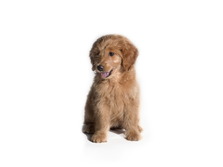pure bred: A puppy sitting on a white background. Stock Photo