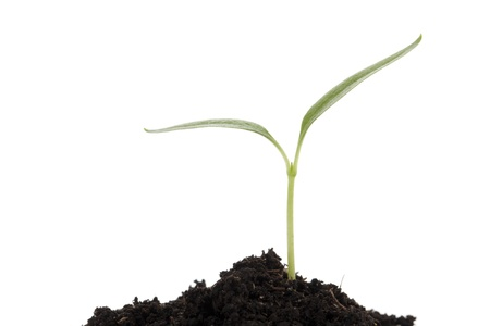 burgeon: Close-up image of burgeon on the soil isolated on a white surface Stock Photo