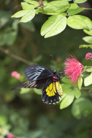 Close-up image of a cattle heart butterfly perching on pink flower