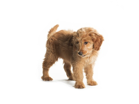 pure bred: A cute fluffy putting isolated on white.