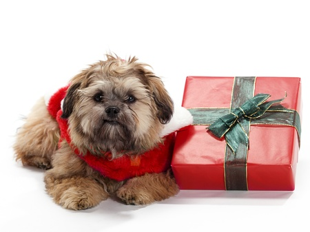 poodle mix: A Shitzu Poodle mix laying beside a gift with a santa suit Stock Photo
