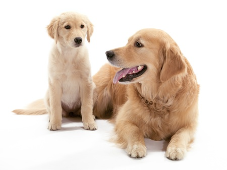 An older and younger Golden Retriever sitting on the floor Reklamní fotografie - 17142839
