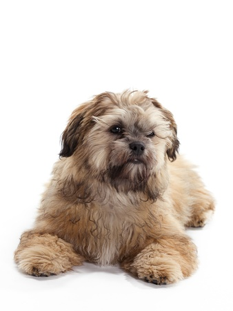 poodle mix: A Shitzu Poodle mix posing Stock Photo
