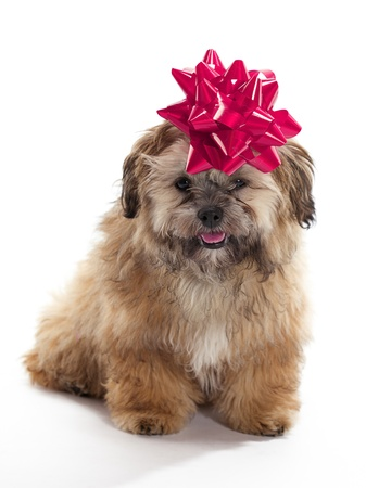 A Shitzu Poodle mix with a ribbon on as a gift photo
