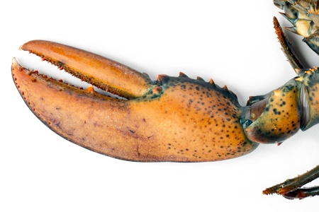 raw lobster: Close-up image of raw lobster focusing the claw isolated on a white background Stock Photo