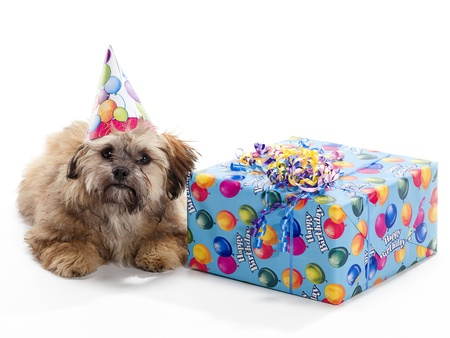 poodle mix: A Shitzu Poodle mix laying beside a birthday present wearing a hat