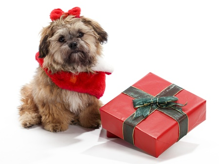 A Shitzu Poodle mix sitting beside a gift with a santa suit and bow photo