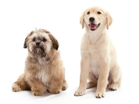 poodle mix: A Shitzu Poodle mix waiting with a Golden Retriever Stock Photo