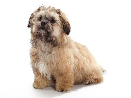poodle mix: A Shitzu Poodle mix