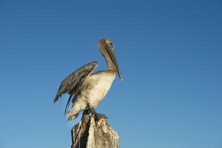 fort jefferson: American Pelican bird resting on wooden post
