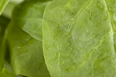 Green spinach leaves in a background image photo