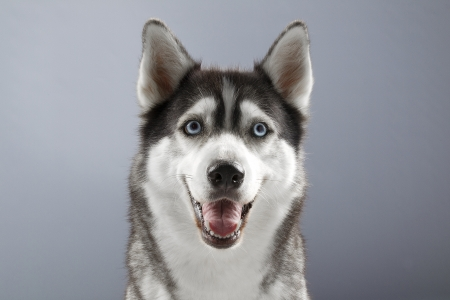 Siberian Husky with a sweet smile. Stock Photo - 17170996