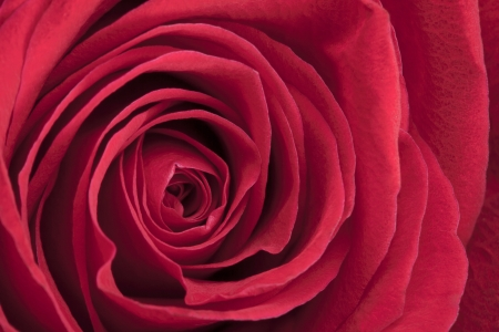 Beautiful red rose in a macro image photo