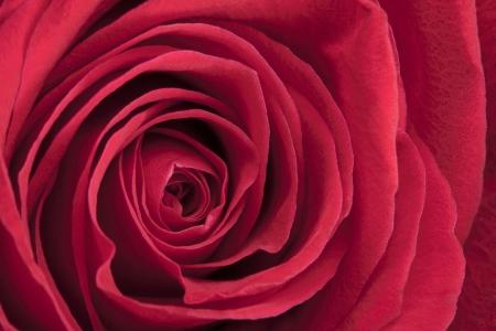 Beautiful red rose in a macro image