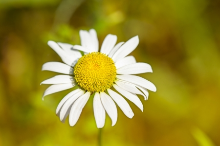 chamomile flower: Small white chamomile flower in a close up image