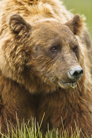 us sizes: A large brown bear shot up close Stock Photo