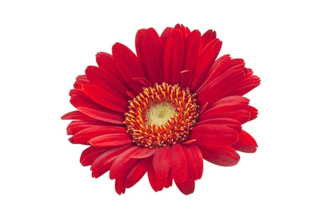 A close-up image of red gerbera daisy isolated on a white background Foto de archivo
