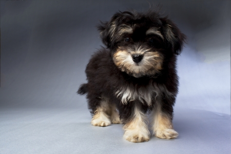 havanese: A standing black and tan Havanese puppy