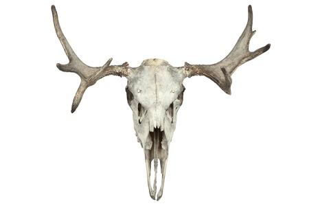Animal skull isolated on white photo
