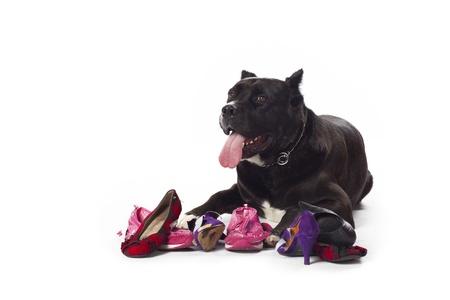 Een Cane Corso liggen beneden omgeven door schoenen