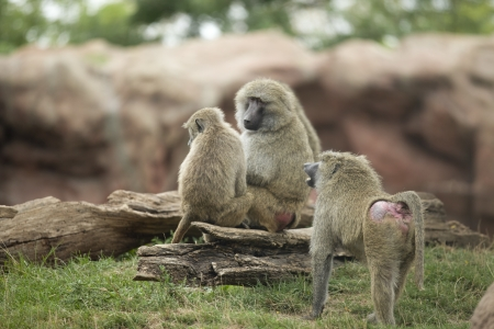 Group of Olive Baboons living as a community. Stock Photo - 17207857