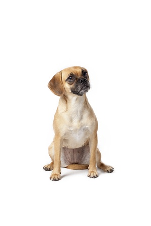 Puggle with tilted head expressing curiosity