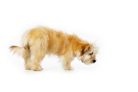 havanese: An orange Havanese puppy walking around