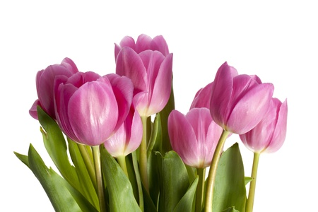bulbous: Close-up shot of pink tulip flowers isolated against white background.