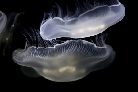 Jellyfish has a transparent body which makes it hard to detect in its natural habitat.