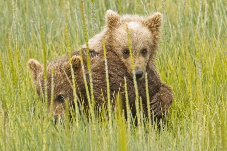 Two bear cubs climbing on each other in the field