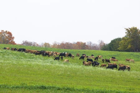 Large group of cows grazing in meadow photo