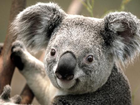 koala: Primer plano imagen de un koala que sostiene en el tronco del árbol