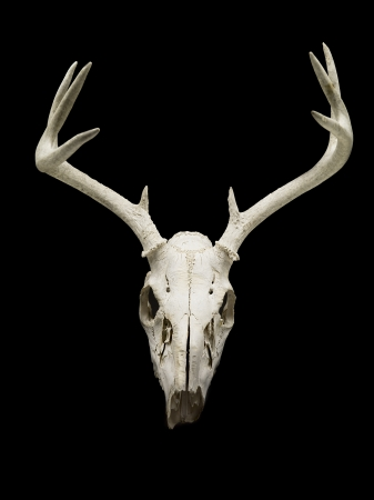 Close-up of deer skull displayed on black background. photo