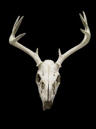 Close-up of deer skull displayed on black background. Stock Photo - 17244913