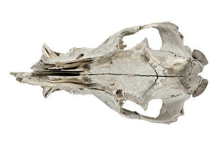 Portrait of a goat skull isolated on a white background photo