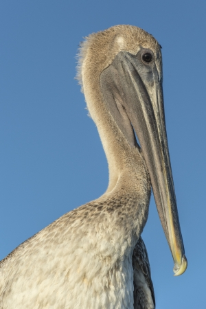 fort jefferson: Close-up image of a Pelican bird in Dry Tortugas