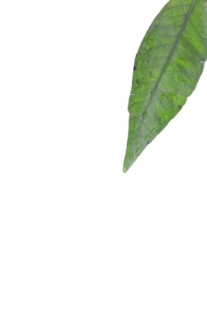 Detailed shot of a leaf on white background. photo
