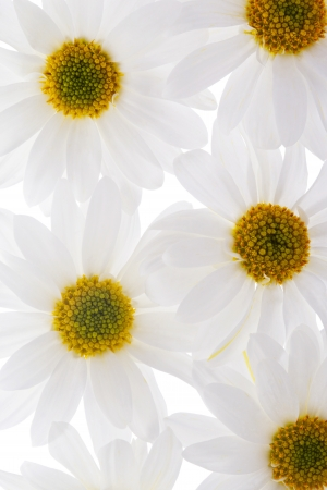 A close-up portrait of a white sunflower with a fresh seed isolated photo